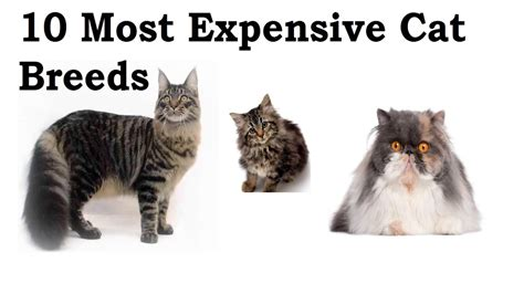 10 Most Expensive Cat Breeds   FunnyCat.TV