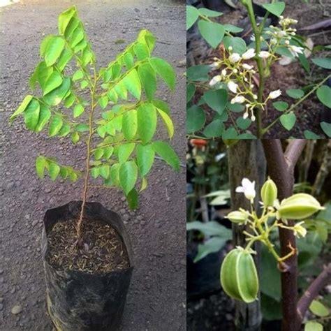 Jual Alat Hidroponik Ambon jual tanaman buah belimbing putih hp 085608566034