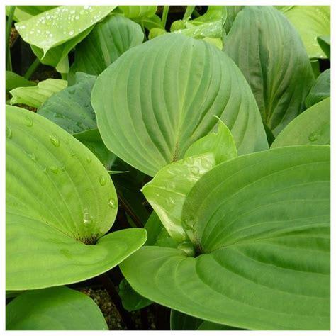 pot exterieur 3623 hosta purple plantes et jardins