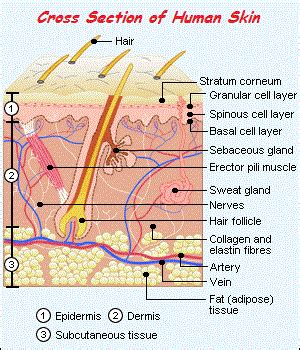 Vertical Section Of Human Skin by Organic Skin Care Just Another Site
