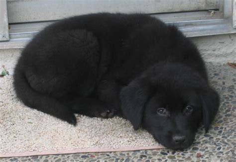 lab chow puppies lab chow labrador chow mix info temperament puppies pictures