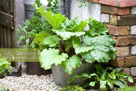 rhubarb container gardening gap gardens rhubarb growing in a recycled container