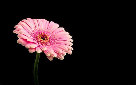 wallpaper 4k flower pink daisy flower 4k wallpapers hd wallpapers id 21246