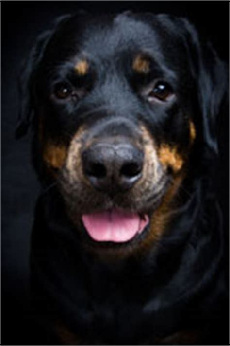 expectancy of rottweiler rottweiler span a of rottweilers
