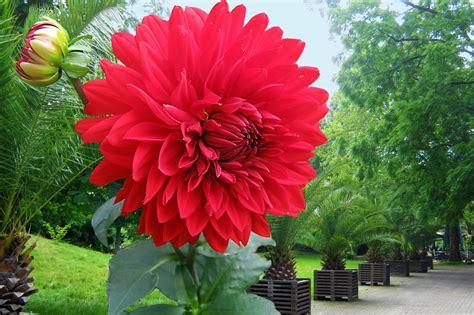 Tanaman Dahlia 110 manfaat dan khasiat bunga dahlia merah untuk kesehatan khasiat