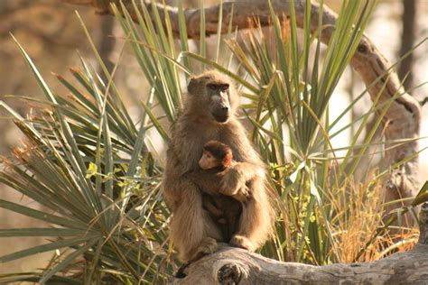 amazing animal babies amazing baby baboon cute pictures free national geographic pix