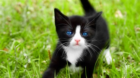 black kitten wallpaper black and white kitten wallpaper kittens wallpaper