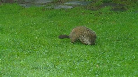 woodchuck in backyard aka ground hog 2010