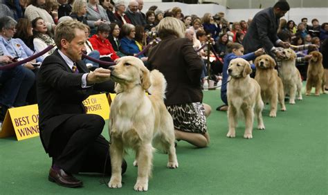 westminster show golden retriever bill nemitz here they re all big dogs especially quincy the portland press
