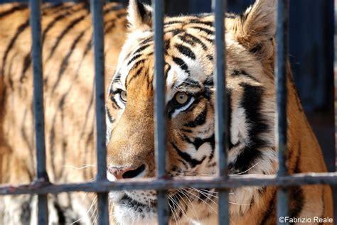 tigre in gabbia fabrizio reale fotografie tigre in gabbia tiger in cage