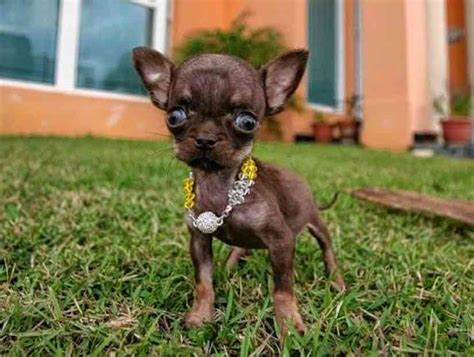 the smallest puppy in the world most smallest in the world www imgkid the image kid has it