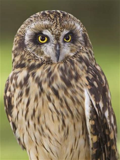 short eared owl british columbia canada photographic