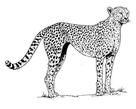 realistic cheetah coloring pages coloringstar