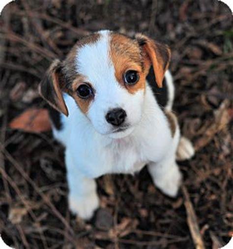 chihuahua yorkie beagle mix adopted puppy kalamazoo mi chihuahua beagle mix