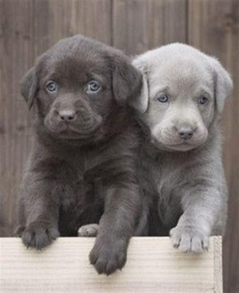 gray golden retriever puppies best 25 labrador puppies price ideas on golden retriever price golden
