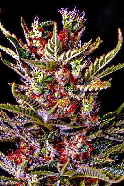colorful marijuana colorful world in beautiful