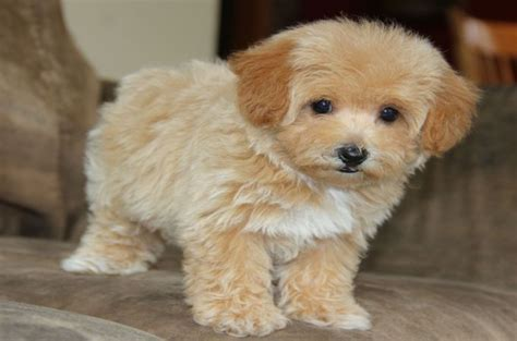maltese poodle lifespan top 20 most cutest poodle mix breeds that you need to