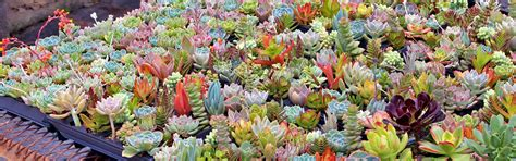 Mountain Crest Gardens by Wholesale Soft Succulents Mountain Crest Gardens