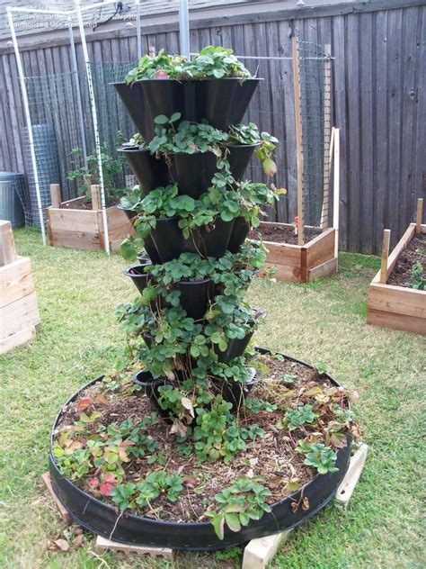 Strawberry Garden Ideas Specialty Gardening Need Help Ideas For Moving My Strawberries Into Containers 1 By Hrp50