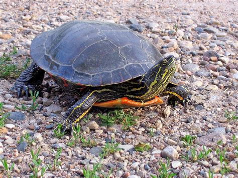 how many times should you feed a a day how many times a day should i feed my turtle wiring diagrams wiring diagrams