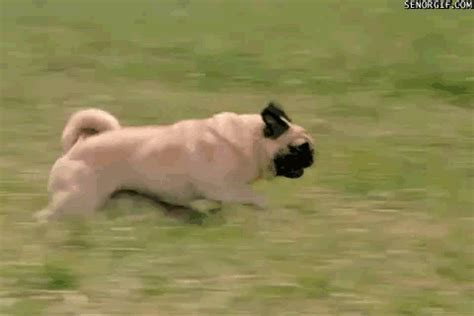 pug fails 30 most fail pictures and photos