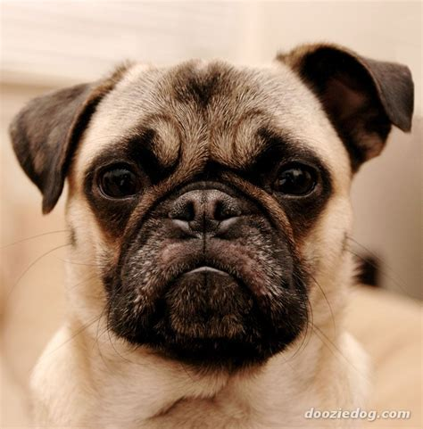 pug breed dogs pug 11 jpg