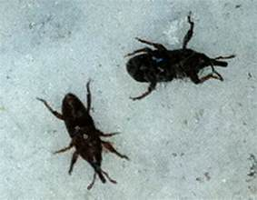 grain weevils what s that bug