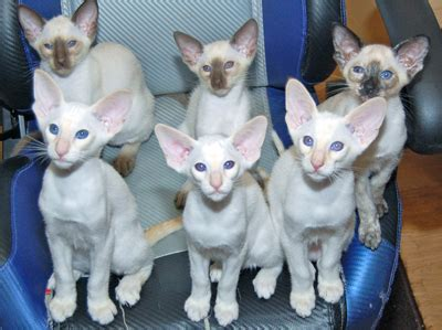 looking for cats and kittens for sale in chicago why not siamese cats and kittens siamese cat breeder