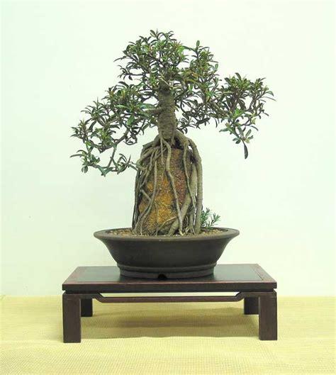 bonsai from native trees ficus rubiginosa australian native plants as bonsai gardening inside ficus