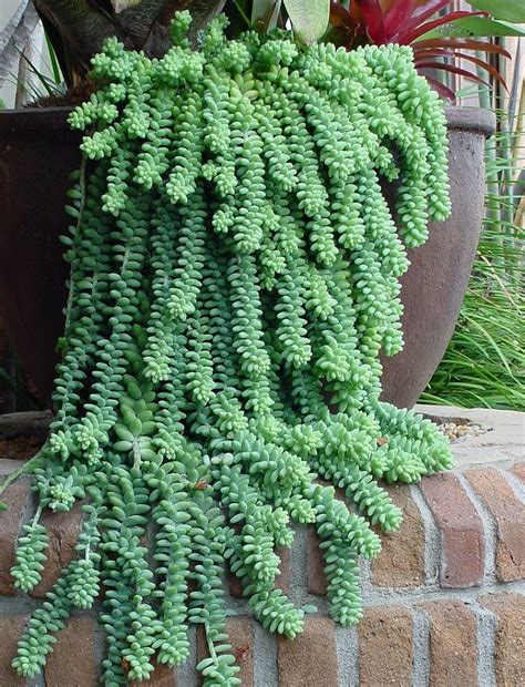 succulents plants adaptations for kids top 10 stylish succulents for your home garden gardens
