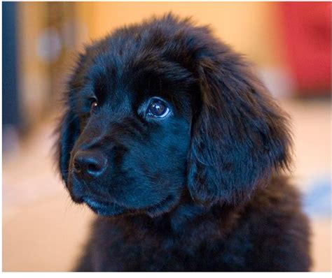 newfoundland puppies cost newfoundland puppy in black jpg 3 comments
