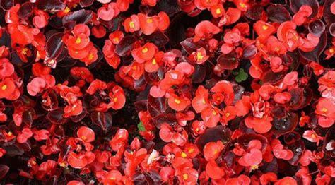 Pupuk Untuk Bunga Begonia 7 tanaman ini dapat tumbuh tanpa sinar matahari