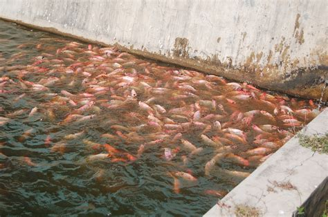 Pakan Larva Ikan Gabus ikan nila merah nilasa di kolam bibitikan net