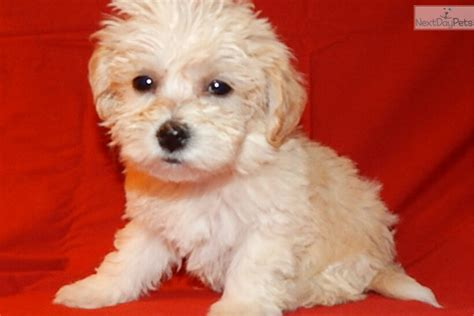maltipoo puppies for sale in indiana malti poo maltipoo puppy for sale near south bend michiana indiana 2702e96b 7501