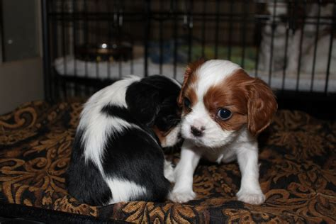 king charles cavalier spaniel puppy cavalier king charles breeder has puppies for sale