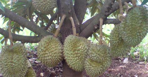 Benih Rambutan Cepat Berbuah cv mitra bibit langkah langkah agar tanaman durian cepat