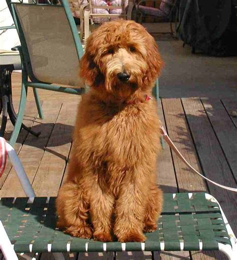 goldendoodle puppy fur another f1 goldendoodle puppy stelladoodle