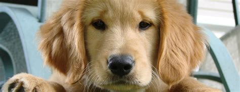 arizona golden retrievers golden retriever shelter dogs in our photo