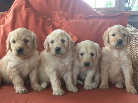 goldendoodle puppies for sale stunning goldendoodle puppies for sale ebbw vale