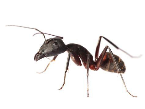 een mier op een blauwe maandag de standaard