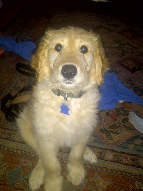 doodle puppy reviews curious puppies reviews puppy testimonials curious puppies