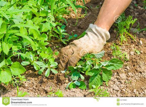 Weeds In Vegetable Garden Weeding Garden Stock Photography Image 5473992