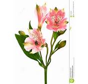 Beautiful Pink Alstroemeria On A White Background