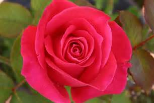 Images Of Rose Flower - wallpaper gallery rose flower wallpaper 1
