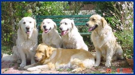 camuka golden retrievers about us