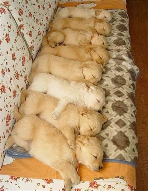 golden retriever puppies sleeping sleeping golden retriever puppies teh
