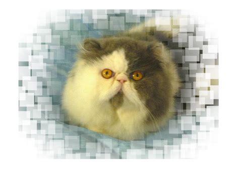 quanto vivono i gatti persiani sweetmarale persians