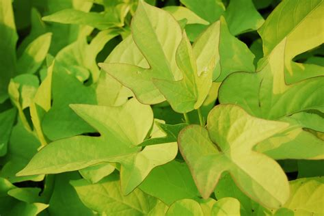 file batata doce ipomoea batatas jpg file ipomoea batatas from taman mini indonesia indah jpg