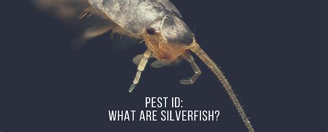 silverfish bathroom floor pest identification what is a silverfish bug and are