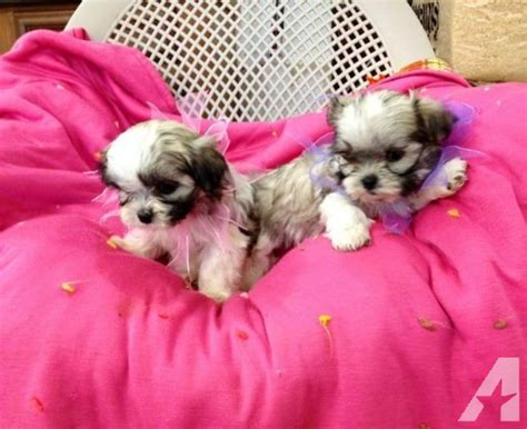 shih tzu puppies for sale in va tiny malshih maltese shih tzu puppies for sale in amissville virginia